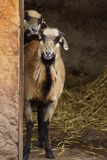 Πρόβατα του Καμερούν - Ovis aries Στοκ Φωτογραφίες