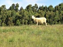 Πρόβατα το //Ovis Aries Στοκ Εικόνες