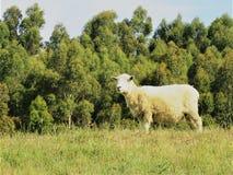 Πρόβατα το //Ovis Aries Στοκ εικόνες με δικαίωμα ελεύθερης χρήσης