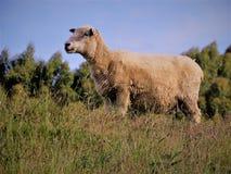 Πρόβατα το //Ovis Aries Στοκ εικόνα με δικαίωμα ελεύθερης χρήσης