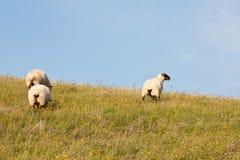 πρόβατα τρία Στοκ εικόνα με δικαίωμα ελεύθερης χρήσης