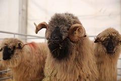 πρόβατα τρία στοκ εικόνες με δικαίωμα ελεύθερης χρήσης