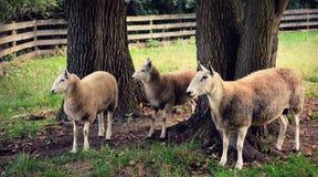 πρόβατα τρία στοκ εικόνες