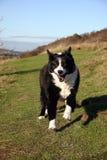 πρόβατα τρεξίματος σκυλιών Στοκ φωτογραφία με δικαίωμα ελεύθερης χρήσης