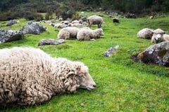 Πρόβατα χαλάρωσης Στοκ Εικόνες