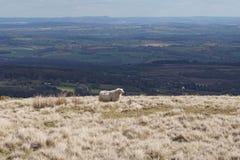 Πρόβατα χώρας Στοκ φωτογραφία με δικαίωμα ελεύθερης χρήσης