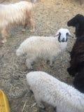 Πρόβατα όμορφα Στοκ Φωτογραφίες