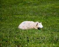 Πρόβατα ύπνου Στοκ Φωτογραφία