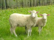 πρόβατα δύο Στοκ εικόνα με δικαίωμα ελεύθερης χρήσης
