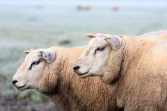 πρόβατα δύο Στοκ φωτογραφίες με δικαίωμα ελεύθερης χρήσης