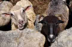 πρόβατα Στοκ Εικόνα