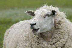 πρόβατα στοκ φωτογραφία με δικαίωμα ελεύθερης χρήσης