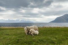 Πρόβατα 2 στοκ φωτογραφία με δικαίωμα ελεύθερης χρήσης