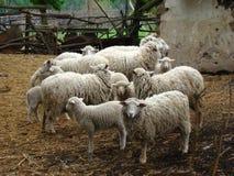 Πρόβατα Στοκ Φωτογραφία
