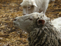 Πρόβατα Στοκ εικόνα με δικαίωμα ελεύθερης χρήσης