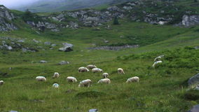 Πρόβατα απόθεμα βίντεο