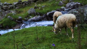 Πρόβατα φιλμ μικρού μήκους