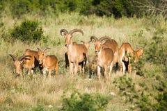 Πρόβατα Aoudad Στοκ Εικόνες