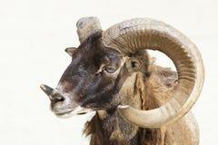 Πρόβατα Argali Στοκ Φωτογραφία