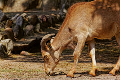Πρόβατα Arui στο ζωολογικό κήπο Στοκ Εικόνες