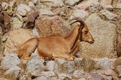 Πρόβατα Arui στο ζωολογικό κήπο στοκ εικόνα