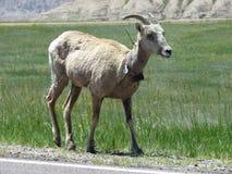 Πρόβατα Badlands Bighorn στοκ φωτογραφία με δικαίωμα ελεύθερης χρήσης
