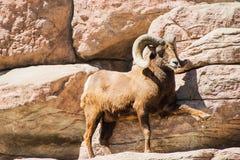 Πρόβατα Bighorn βουνών Στοκ φωτογραφία με δικαίωμα ελεύθερης χρήσης