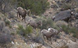 Πρόβατα Bighorn ερήμων στοκ φωτογραφίες με δικαίωμα ελεύθερης χρήσης