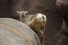 Πρόβατα Bighorn κριού Στοκ Εικόνες