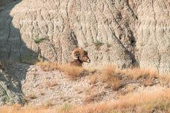 Πρόβατα Bighorn που βρίσκονται σε έναν βράχο Στοκ Φωτογραφία