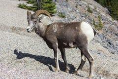 Πρόβατα Bighorn σε έναν λόφο Στοκ Εικόνα