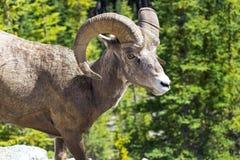 Πρόβατα Bighorn σε έναν λόφο Στοκ φωτογραφία με δικαίωμα ελεύθερης χρήσης