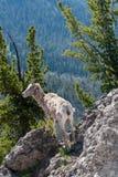 Πρόβατα Bighorn στο υποστήριγμα Washburn στοκ φωτογραφία με δικαίωμα ελεύθερης χρήσης