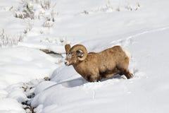 Πρόβατα Bighorn Στοκ εικόνες με δικαίωμα ελεύθερης χρήσης