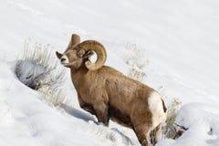 Πρόβατα Bighorn Στοκ Εικόνες