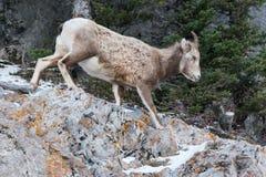 Πρόβατα Bighorn Στοκ φωτογραφίες με δικαίωμα ελεύθερης χρήσης