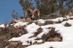 Πρόβατα Bighorn Στοκ εικόνα με δικαίωμα ελεύθερης χρήσης