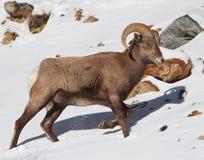 Πρόβατα Bighorn Στοκ Φωτογραφία