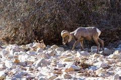 Πρόβατα Bighorn - Ovis Canadensis Στοκ Εικόνες