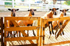 Πρόβατα Blackbelly Barbado που στρέφουν την προσοχή Στοκ φωτογραφία με δικαίωμα ελεύθερης χρήσης