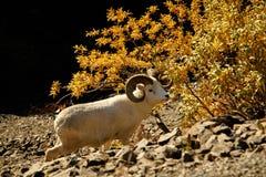 Πρόβατα Dall σε Denali NP, Αλάσκα, ΗΠΑ Στοκ Φωτογραφίες