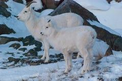 Πρόβατα Dall Στοκ φωτογραφία με δικαίωμα ελεύθερης χρήσης
