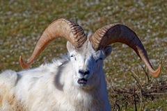 Πρόβατα Dall Στοκ εικόνα με δικαίωμα ελεύθερης χρήσης
