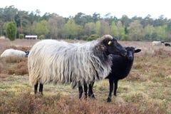 Πρόβατα Heidschnucke βαλτοτόπου και νέο αρνί στο ρείκι Luneburg κοντά σε Undeloh και Wilsede, Γερμανία Στοκ Εικόνα
