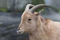 πρόβατα lervia Βαρβαρίας ammotragus Στοκ φωτογραφίες με δικαίωμα ελεύθερης χρήσης