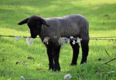 Πρόβατα στοκ φωτογραφίες με δικαίωμα ελεύθερης χρήσης