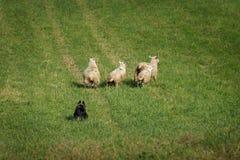 Πρόβατα Ovis κινήσεων σκυλιών αποθεμάτων aries έξω στον τομέα Στοκ Εικόνα