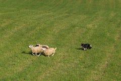 Πρόβατα Ovis κοπαδιών σκυλιών προβάτων aries πέρα από τον τομέα Στοκ φωτογραφία με δικαίωμα ελεύθερης χρήσης