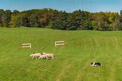 Πρόβατα Ovis κοπαδιών σκυλιών προβάτων aries που αφήνεται στον τομέα Στοκ Φωτογραφία