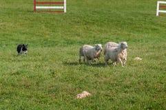 Πρόβατα Ovis τρεξιμάτων σκυλιών αποθεμάτων aries μέσω της βοσκής της σειράς μαθημάτων Στοκ Φωτογραφίες